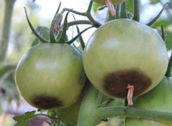Fruto de tomate con pudrición apical.