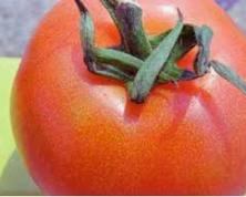Mancha dorada en tomate.