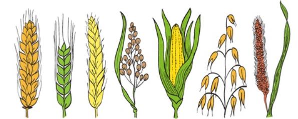 Codificación BBCH de los principales estados fenológicos de los cereales